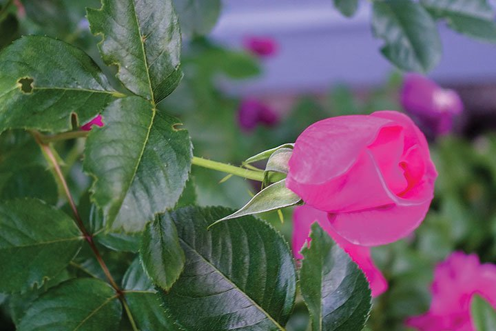 How And When To Prune Rose Bushes Valley News