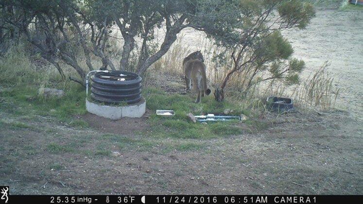 Camera footage still of mountain lion