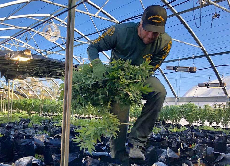 Deputy removing marijuana